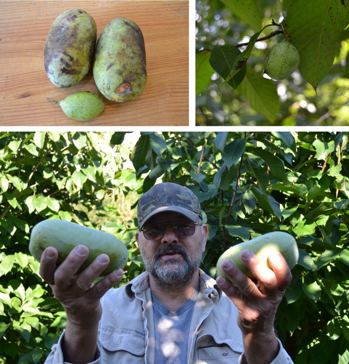 Top right: Wild pawpaws are a lot smaller than their cultivated cousins. Top left: An unripe pawpaw hangs from a tree. The traditional harvest season in Pennsylvania occurs during September. Bottom:  Marc Boone, pawpaw grower in Michigan. Photos: Andrew Moore