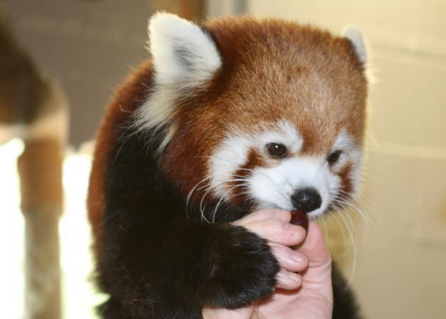 Red Pandas  Facts Diet amp Habitat Information