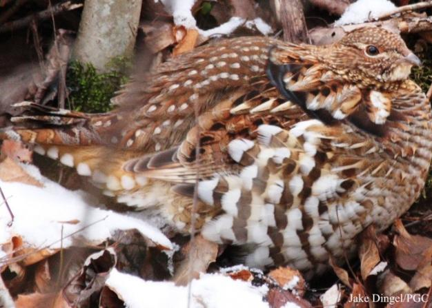 the ruffed grouse is pennsylvanias state bird twenty eight thousand breeding males have been lost to climate change since 1980